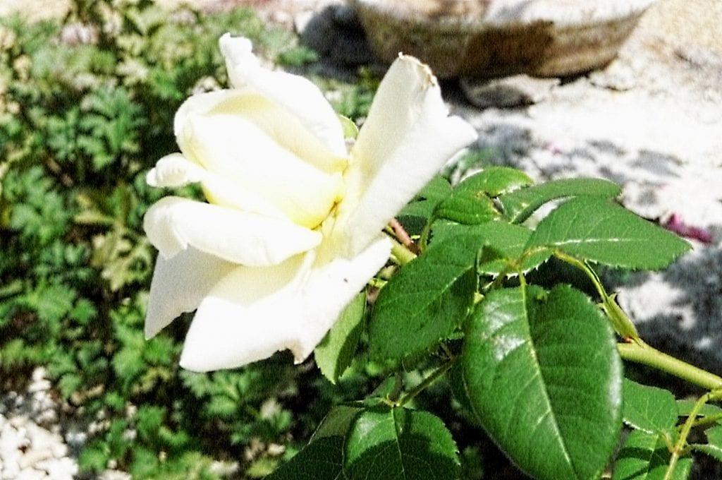 erste Rosen